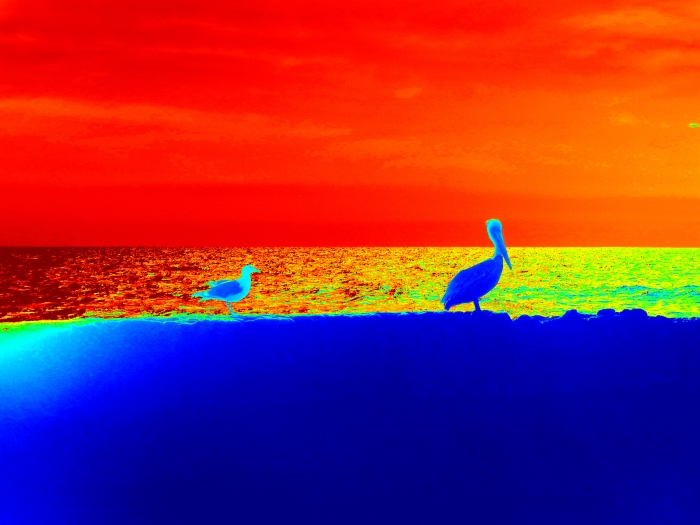 One More Pelican with Seagull Edited with Picasa!