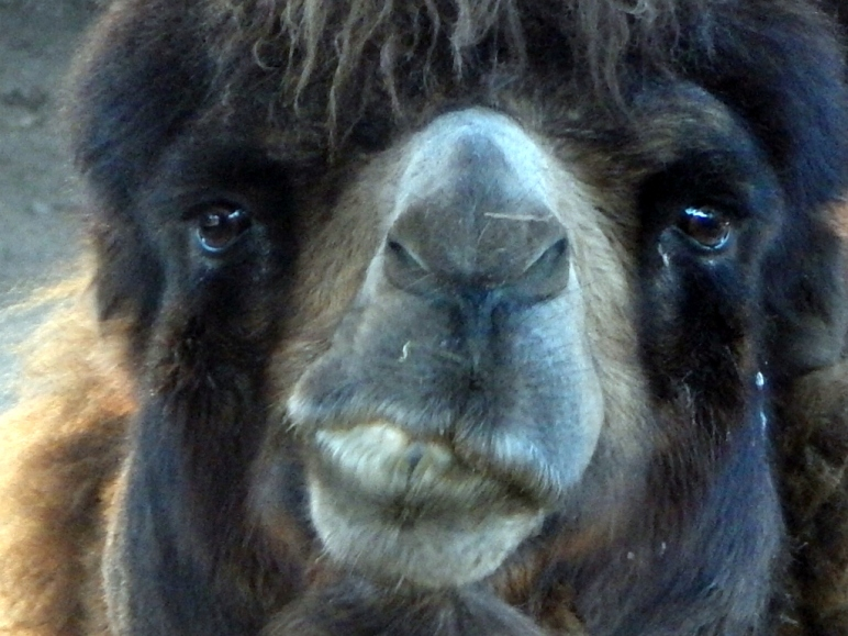 Camel Close-up Cameo  at the San Diego Zoo! Photo by SJF Communications