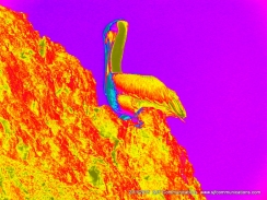 Heat Map of Pelican on rock at Torrey PInes State Beach;SJF Communicationswww.sjfcommunications.com