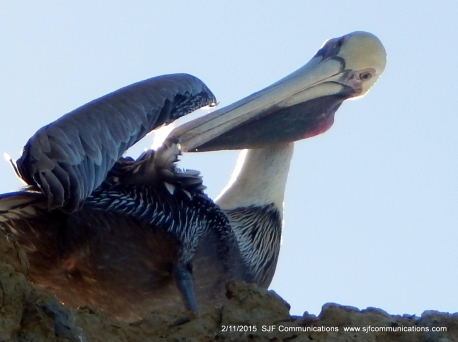 Pelican grooming at Torrey PInes State Beach;SJF Communicationswww.sjfcommunications.com