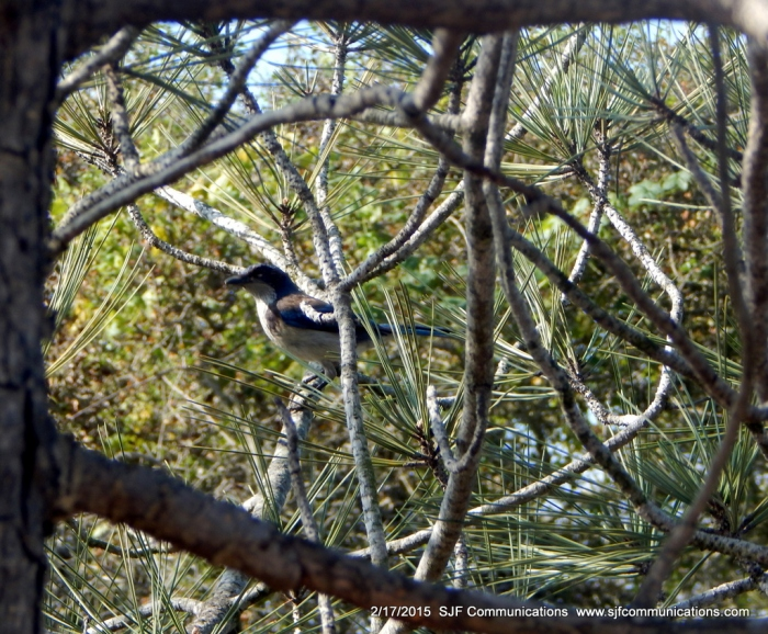 Scrub Jay  in Tree at at Torrey Pines State Reserve