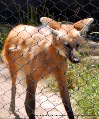Fox meandering throughout his cage