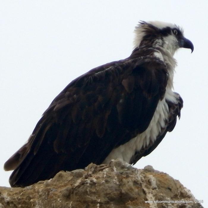 osprey.sjf.1