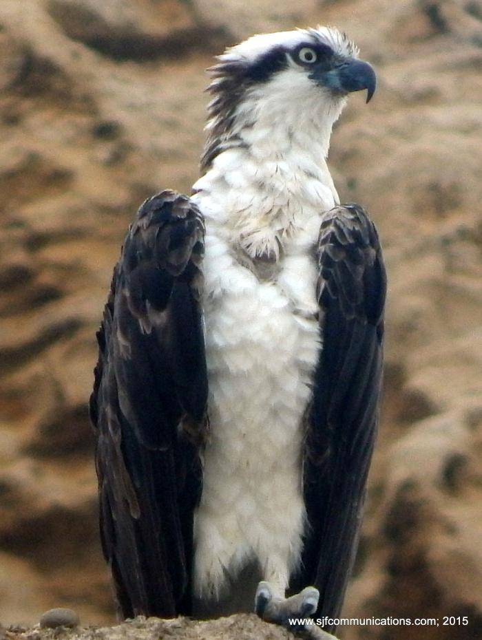 osprey.sjf.14