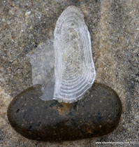 Jelly on a Rock