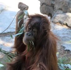 sdzoo.9.25.orangutan2