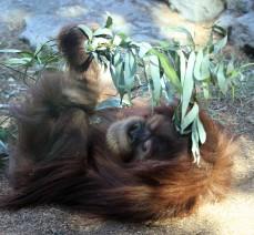 sdzoo.9.25.orangutan3