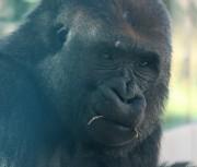 sdzoo.gorilla.3