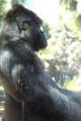 sdzoo.gorilla.5