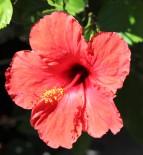 sdzoo.hibiscus.pink1