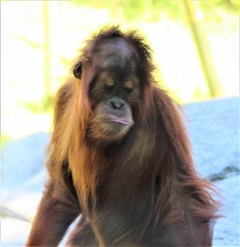 sdzoo.orangutan.8