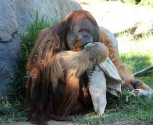 sdzoo.orangutan.9