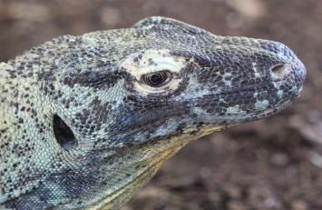 sdzoo.reptile