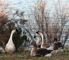 Geese! Miramar Reservoir. Photo by SJF Communications