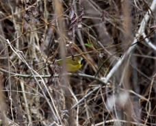 Yellow Common Throat