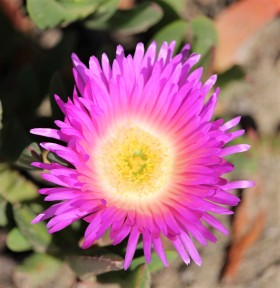 iceplantflower.IMG_0284